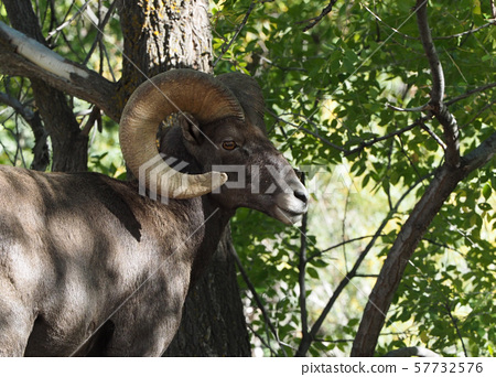 Bighorn sheep resting in the shade 57732576