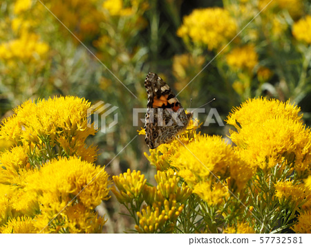 Painted lady butterfly perching on a yellow flower 57732581