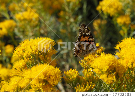 Painted lady butterfly perching on a yellow flower 57732582