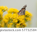 Painted lady butterfly perching on a yellow flower 57732584