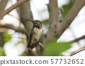 Male hummingbird perching on a branch 57732652