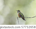 A giant hummingbird standing on a branch and inflating its wings 57732658