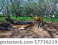 태풍의 피해로 쓰러진 거목 57736219