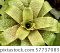 Bud of tropical plant, top view 57737083