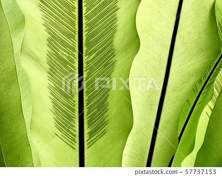 Green leaves of tropical plant abstract background 57737153