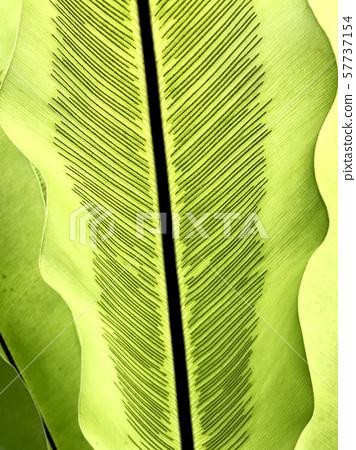 Green leaf of tropical plant, closeup 57737154