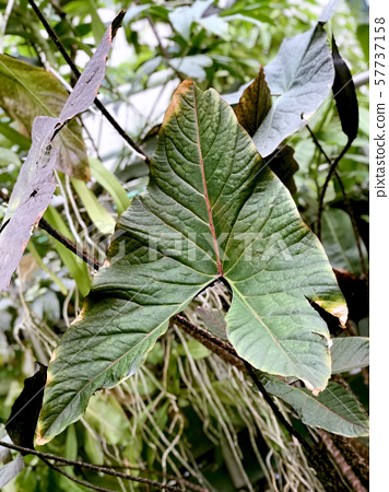 Big arrow-shaped leaf of tropical plant, top view 57737158