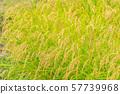 수확시기의 논 (벼) 미야기 무라타 57739968