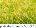 Harvest time paddy field (Inaho) Miyagi Murata 57739973