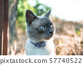 Beautiful portrat siamese cat on a wildwide. 57740522
