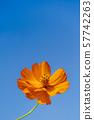 푸른 하늘과 노랑 코스모스 미야기 가와사키 57742263