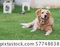 portrait of cute dog golden retriver on the lawn 57748638