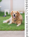 portrait of cute dog golden retriver on the lawn 57748640