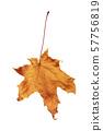 autumn maple leaf isolated on white background 57756819