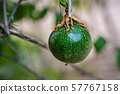 A Fresh green passion fruit on vine from frame. 57767158