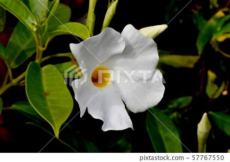 開花在三鷹中原的白色陽傘(Mandevira) 57767550