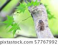 Cicada Abrazemi summer image Cicada Shigure background cicada 57767992