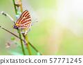 Propagation of Cigaritis Syama butterfl 57771245