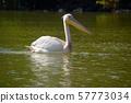A lone pelican on Tana Lake, Ethiopia 57773034