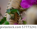 Close up of a small green chameleon 57773241