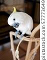 앵무새 Parrot 잉꼬 코카 투 카메라 시선 하얀 새 귀여운 57773649