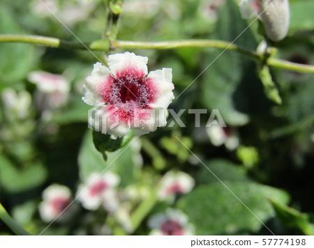 계요등라고 심한 이름의 꽃 57774198