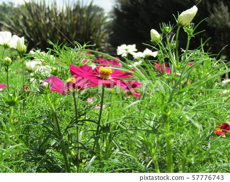 Representative of autumn flowers Red cosmos flowers 57776743