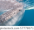 고래 상어 57778071