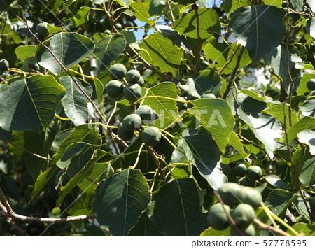 仍未成熟的绿色花生果实 57778595