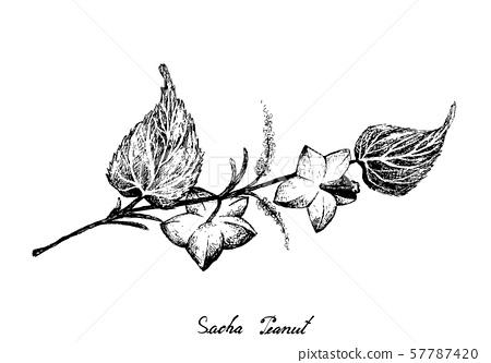 Hand Drawn of Sacha Peanuts on White Background 57787420