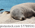 Galapagos Sea Lion in sand lying on beach 57789591