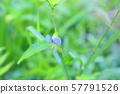 닭의장풀 꽃 57791526