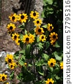 Sanbitaria(蛇眼菊花) 57795316