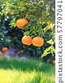 在陽光下的成熟橘子 57797041