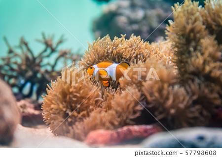 Clownfish Clownfish 57798608