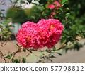 桃紅色縐綢桃金孃 57798812