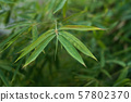 closeup of  bamboo leaves in a garden 57802370