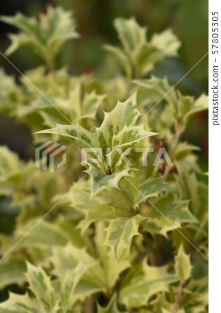 Holly osmanthus Variegatus 57805305
