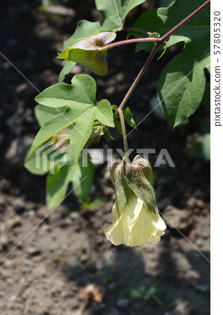 Levant cotton 57805320