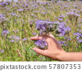 Female arm with blossom of phacelia flowers in 57807353