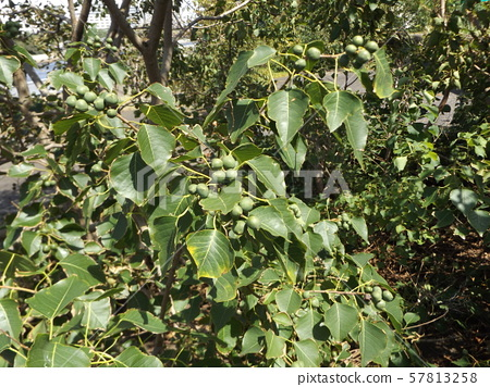 Still unripe green peanut fruit 57813258