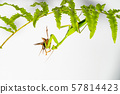 The mantis under the leaf on the white background 57814423
