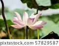 pink lotus flower 57829587