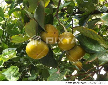 我们家的许多水果将于今年成熟 57832109