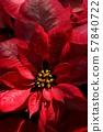 햇빛이 닿는 붉은 포인세티아 57840722