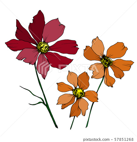 Vector Cosmos floral botanical flowers. Black and white engraved ink art. Isolated cosmea 57851268
