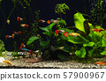 Freshwater aquarium with plants and fancy guppies 57900967