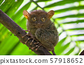 Tarsier the world smallest primate monkey with big eyes sitting on a branch with green leaves. Bohol 57918652