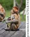 Proboscis monkeys. Cute primate with big long nose. Borneo, Malaysia. 57918793