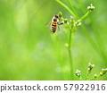 熊甲蟲和蜜蜂 57922916